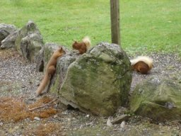 Red squirrels at House of Mark