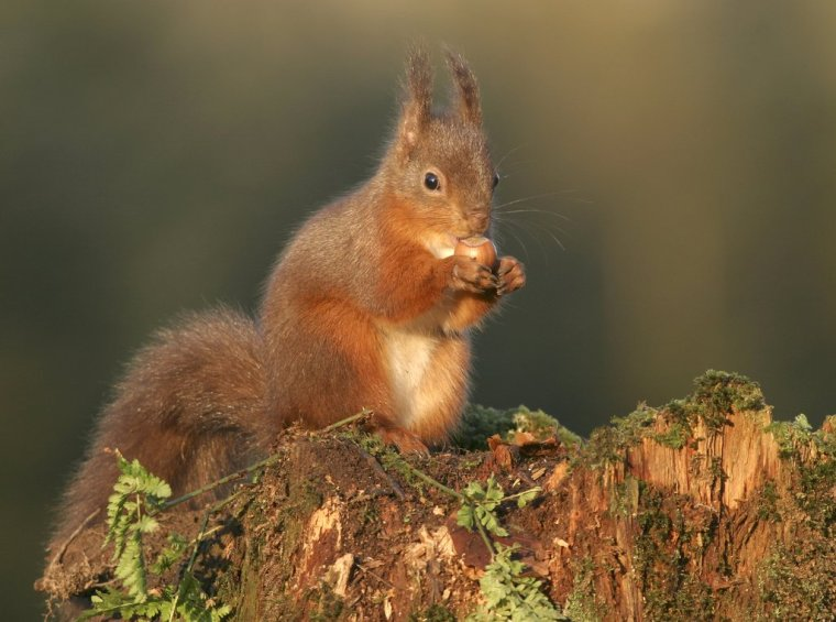 Red_Squirrel.